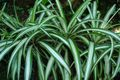 2007-06-24-Chlorophytum comosum-light.jpg